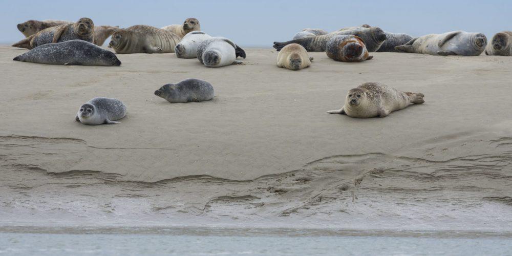 Où observer les phoques ?